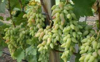 Виноград Белая роза: описание сорта с фото, отзывы, посадка и уход