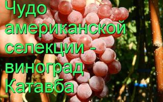 Виноград Катавба (Catawba Grape): что нужно знать о нем, описание сорта, отзывы