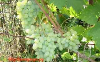 Виноград Эврика: что нужно знать о нем, описание сорта, отзывы