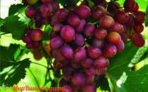 Виноград Малиновый: что нужно знать о нем, описание сорта, отзывы