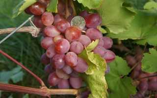 Виноград Азалия: что нужно знать о нем, описание сорта, отзывы