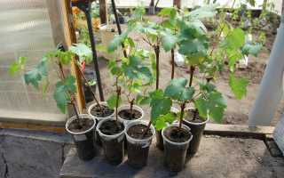 Виноград Мускат белый сверхранний: описание сорта с фото, отзывы, посадка и уход