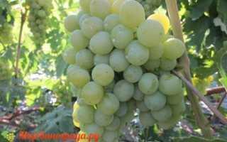 Виноград Леда (Леди Леда): что нужно знать о нем, описание сорта, отзывы