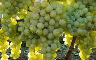 Виноград Антоний Великий: описание сорта с фото, отзывы, посадка и уход