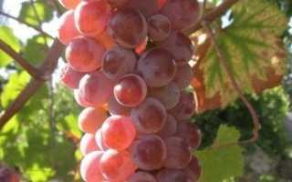 Виноград Розово Днестровский: что нужно знать о нем, описание сорта, отзывы