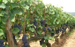 Виноград Сент Кру (Святой Крест): что нужно знать о нем, описание сорта, отзывы