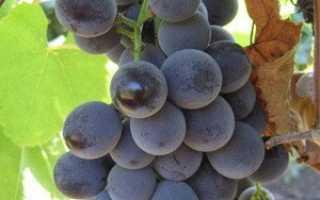 Виноград Вильдер: что нужно знать о нем, описание сорта, отзывы