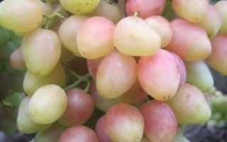 Сорт винограда Анжелика: что нужно знать о нем, описание сорта, отзывы