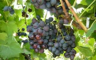 Виноград Тангра: что нужно знать о нем, описание сорта, отзывы