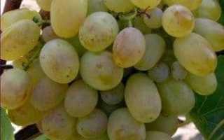Виноград «Новый подарок Запорожью»: описание сорта с фото, отзывы, посадка и уход