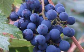 Виноград Саперави северный: что нужно знать о нем, описание сорта, отзывы