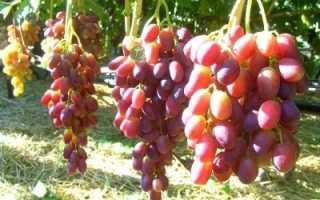 Виноград Рада: что нужно знать о нем, описание сорта, отзывы