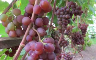 Сорт винограда Минский розовый: что нужно знать о нем, описание сорта, отзывы
