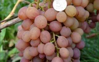 Виноград Эва: что нужно знать о нем, описание сорта, отзывы