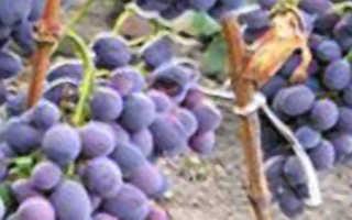 Виноград Атаман Павлюк: что нужно знать о нем, описание сорта, отзывы