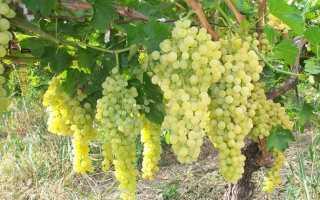 Перепрививка винограда. Техника , советы