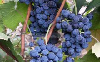 Виноград Денисовский: что нужно знать о нем, описание сорта, отзывы