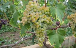 Виноград Устойчивый Докучаевой: что нужно знать о нем, описание сорта, отзывы