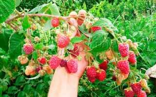 Сорта ремонтантной малины: разновидности, уход и выращивание