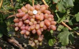 Виноград Преображение (описание, фото, видео)