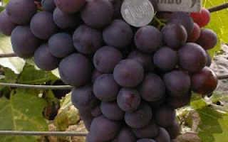 Виноград Тигин: что нужно знать о нем, описание сорта, отзывы