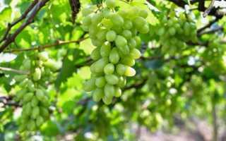 Виноград Новое столетие ЗГТУ: описание сорта с фото, отзывы, посадка и уход