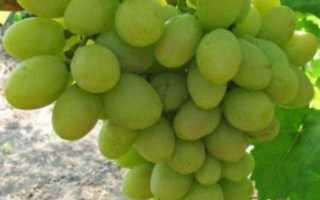 Виноград Тянь Шань (Tian Shan): что нужно знать о нем, описание сорта, отзывы