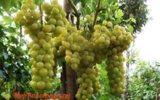 Виноград Королева Виноградников: что нужно знать о нем, описание сорта, отзывы