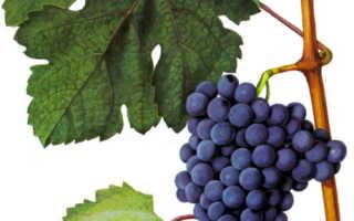 Виноград Красностоп золотовский: что нужно знать о нем, описание сорта, отзывы