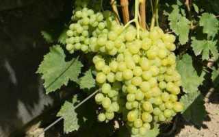 Виноград «Болгария устойчивая»: описание сорта с фото, отзывы, посадка и уход
