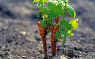 Правильная посадка винограда черенками. Этапы и уход