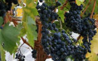 Виноград Тур Хейердал. Описание, характеристика , отзывы, фото