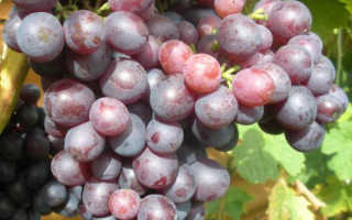 Виноград Краса Никополя: описание сорта с фото, отзывы, посадка и уход