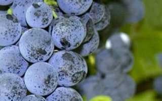 Сорт винограда Левокумский: что нужно знать о нем, описание сорта, отзывы