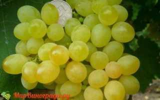 Виноград Коктейль Кишмиш: что нужно знать о нем, описание сорта, отзывы