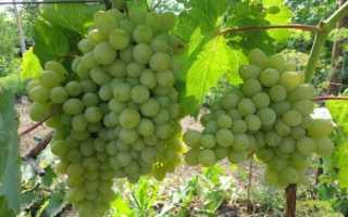 Виноград Химрод: что нужно знать о нем, описание сорта, отзывы