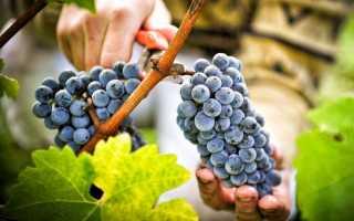 Виноград Леон Мийо: описание сорта с фото, отзывы, посадка и уход