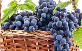 Виноград Молдавский черный: описание сорта с фото, отзывы, посадка и уход