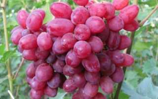 Виноград Велес : что нужно знать о нем, описание сорта, отзывы