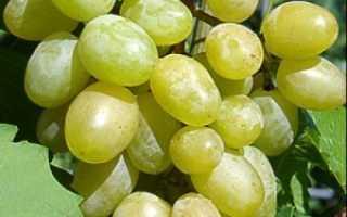 Виноград Илья: что нужно знать о нем, описание сорта, отзывы