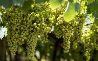 Виноград для похудения: что нужно знать о нем, описание сорта, отзывы