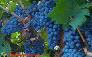 Виноград Ажурный: что нужно знать о нем, описание сорта, отзывы