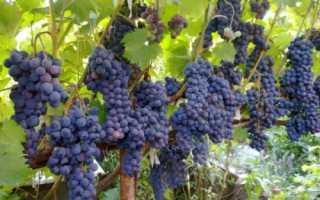 Виноград ливадийский черный: описание сорта с фото, отзывы, посадка и уход