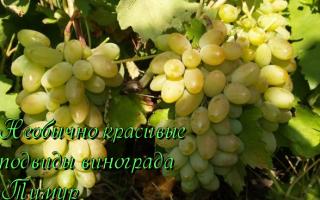 Сорт виноград Тимур: что нужно знать о нем, описание сорта, отзывы