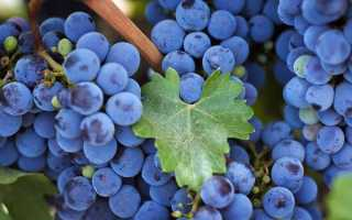 Вино из винограда Изабелла. Этапы приготовления