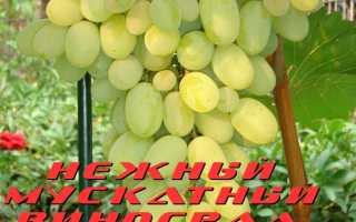 Виноград Надежный: что нужно знать о нем, описание сорта, отзывы