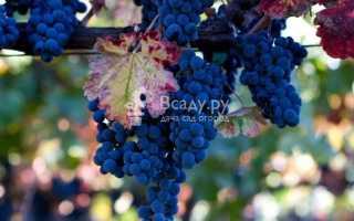 Как выращивать виноград на Урале, сорта, уход