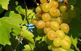 Виноград Верона: что нужно знать о нем, описание сорта, отзывы
