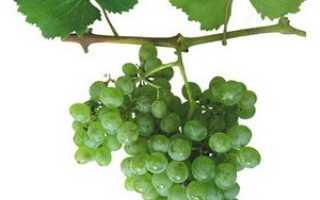 Виноград Аврора Магарача: что нужно знать о нем, описание сорта, отзывы