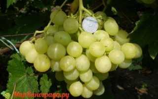 Виноград Рафинад: что нужно знать о нем, описание сорта, отзывы